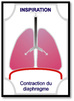 contraction-diaphragme-inspiration-etape-1