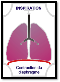 contraction-diaphragme-inspiration-etape-2