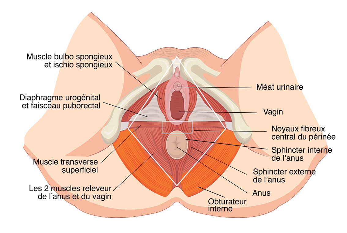 anatomie-perinee